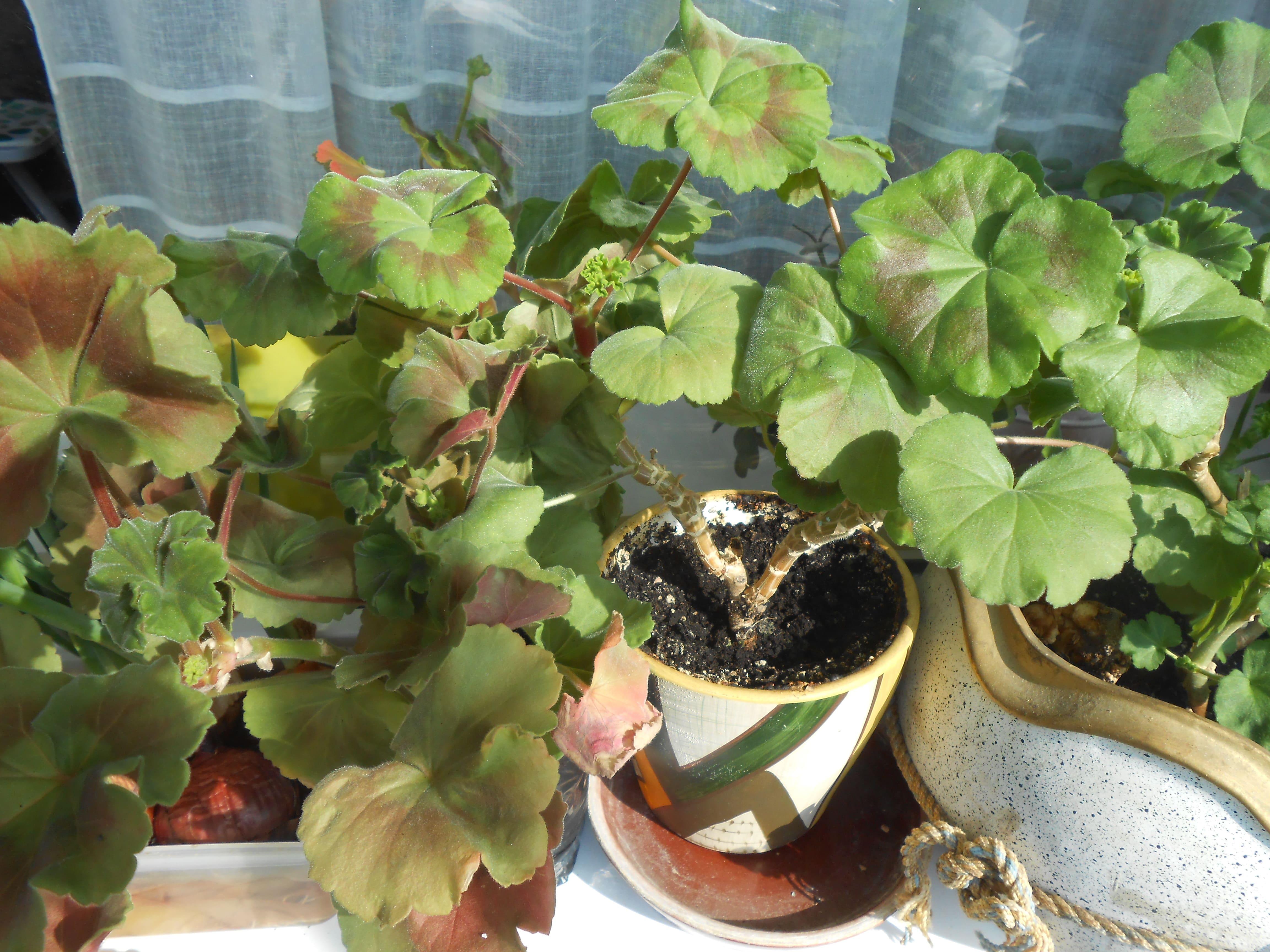 Герань растение