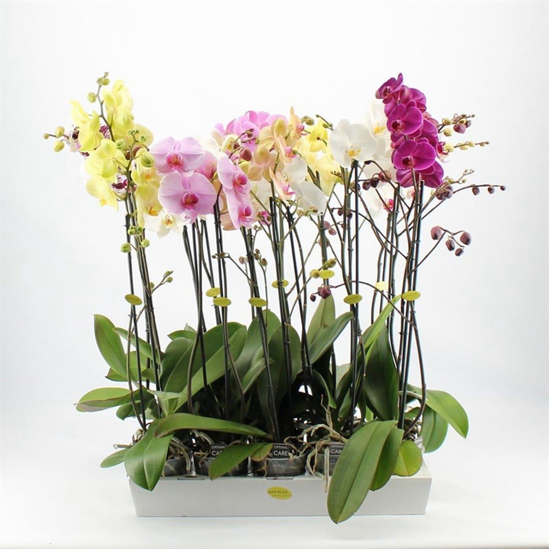 Орхидея фаленопсиса