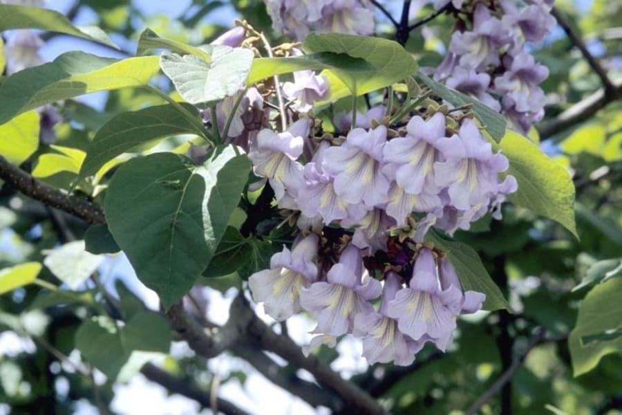 Цветущая ветка павловнии