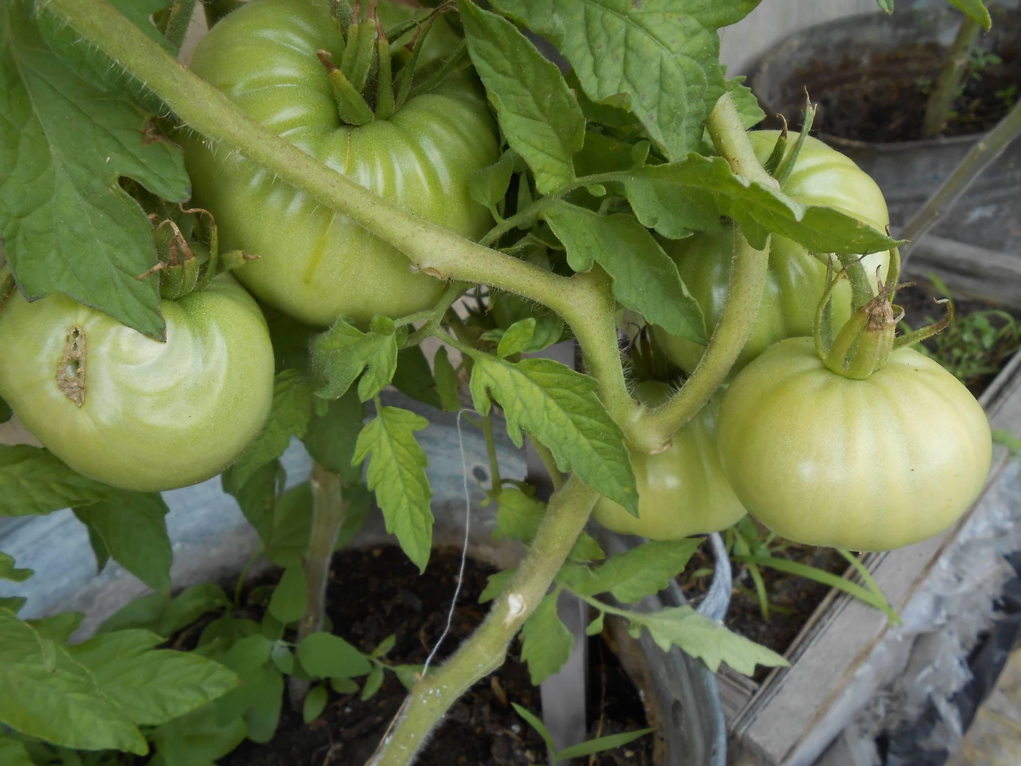 Как защитить томаты от фитофотороза