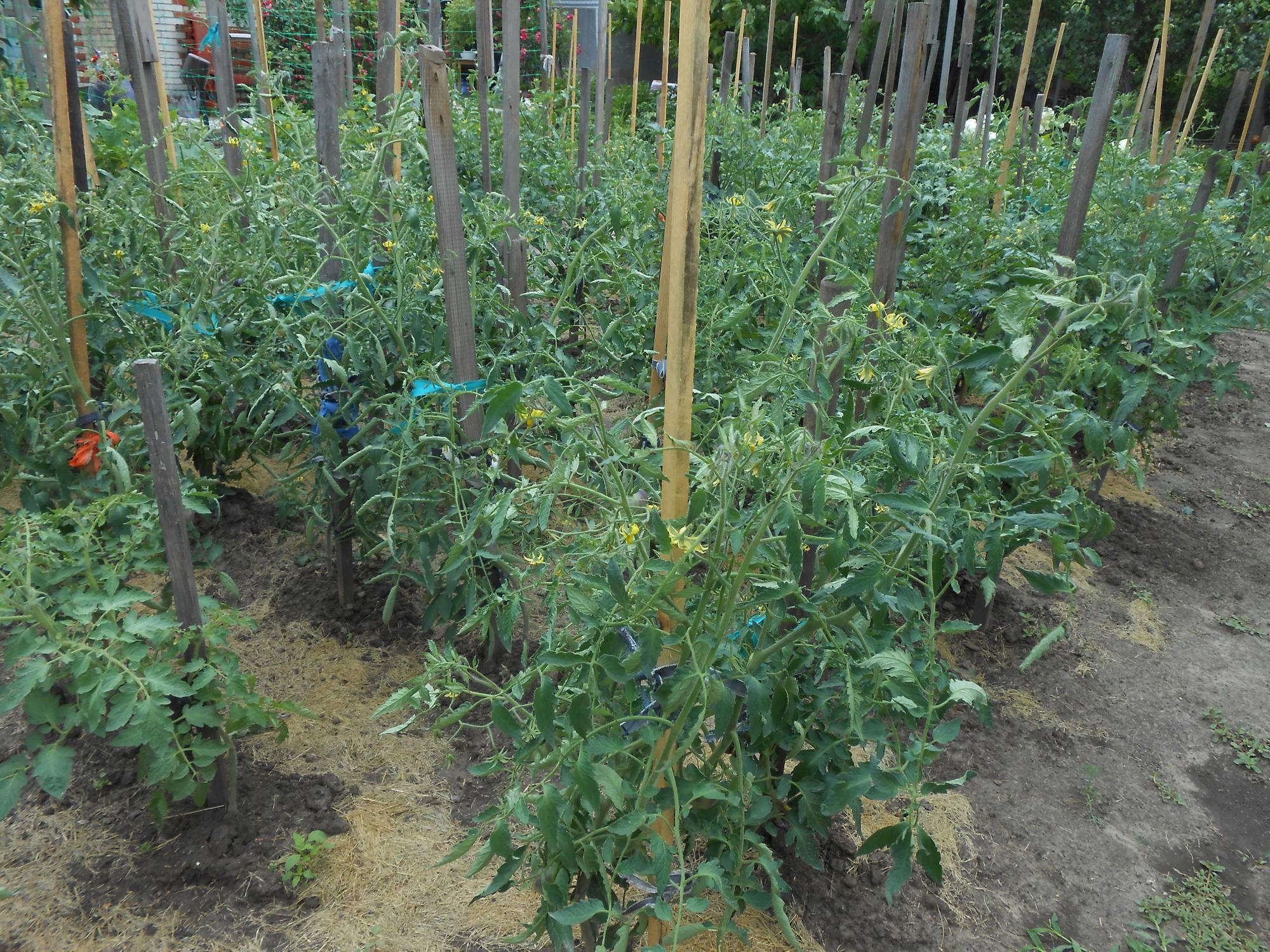 Правильная посадка помидоров