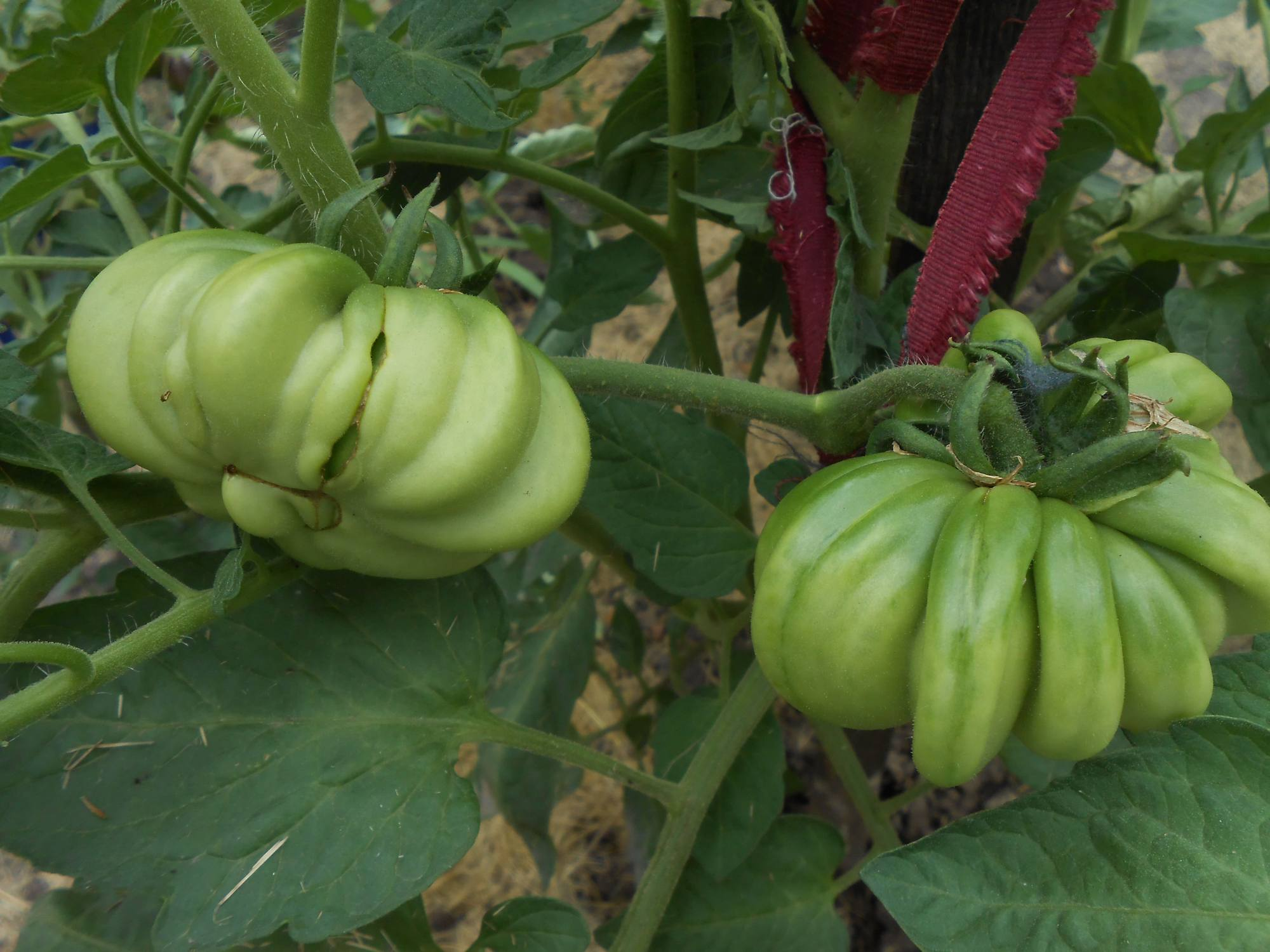 Зеленые томаты на ветке