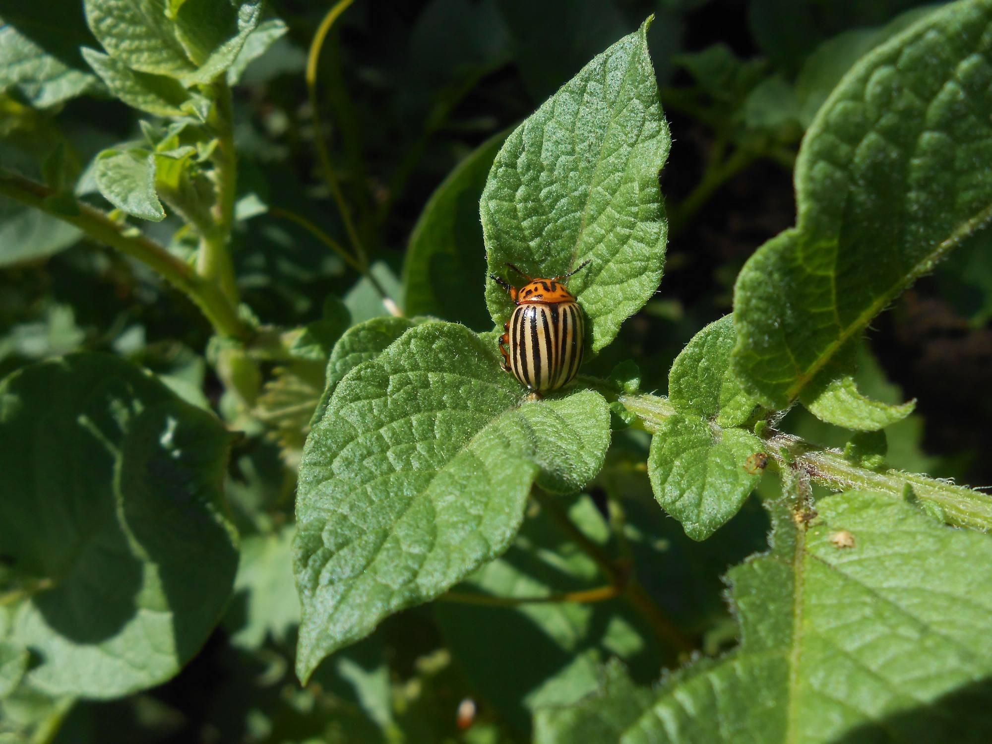 Колорадские жуки на листьях картофеля