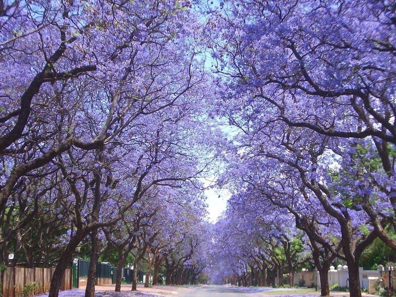 Цветущие деревья павловнии
