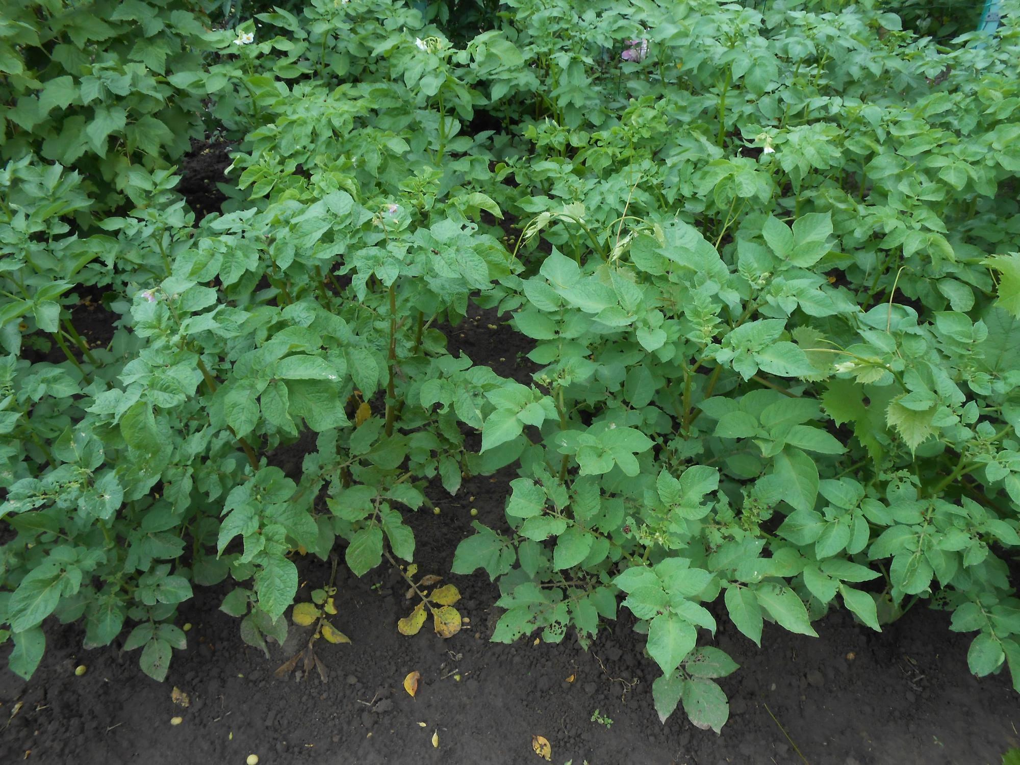 Ботва картошки в саду