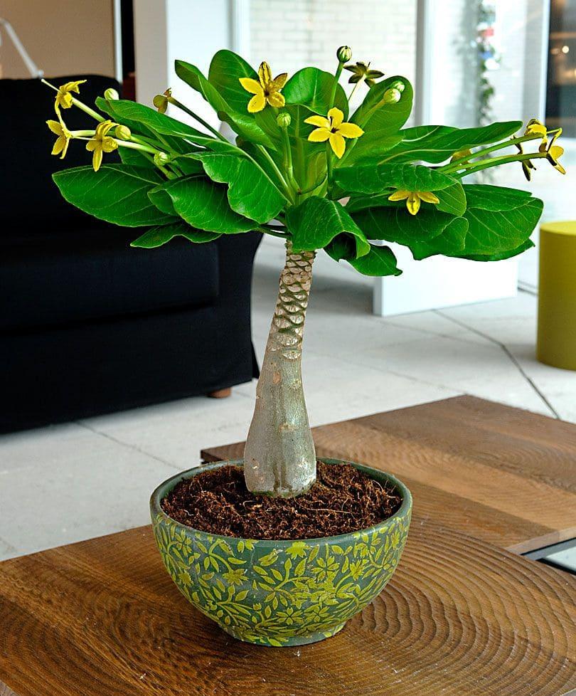 Гавайская пальма Бригамия